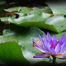 waterlily series - purple by PeaceM