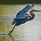 Heron Landing by Marvin Collins