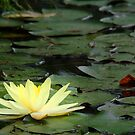 waterlily series - one yellow lily by PeaceM