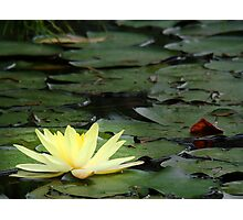 waterlily series - one yellow lily Photographic Print