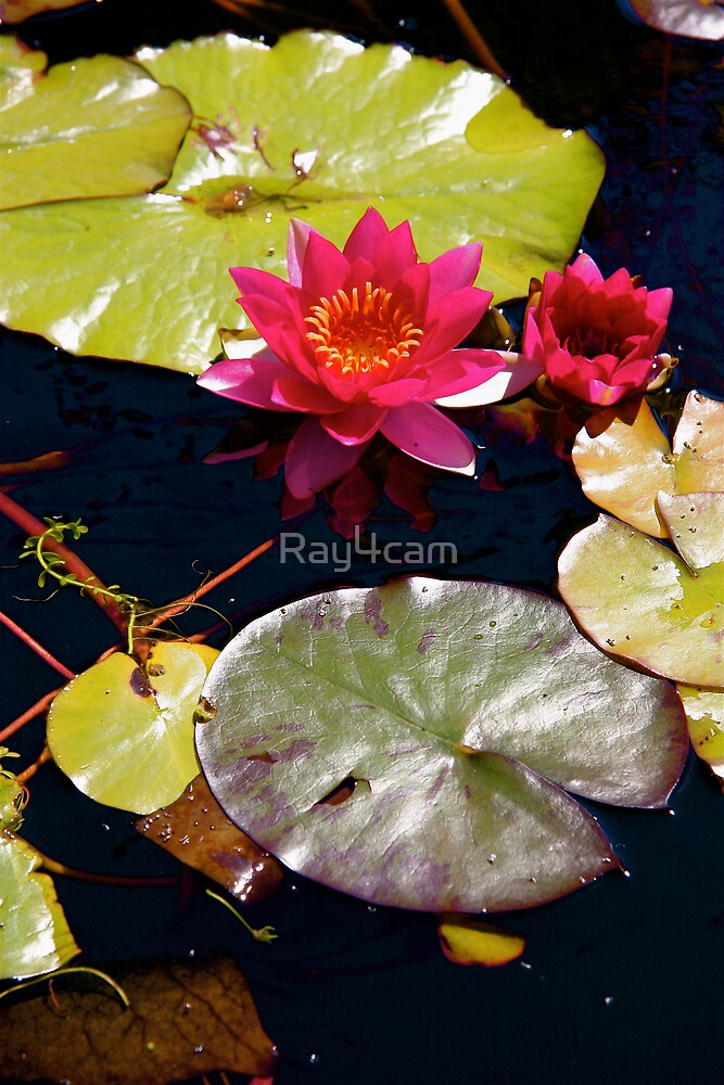 Water Lily by Ray4cam