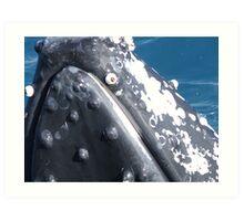 Humpback Hervey Bay Queensland Art Print