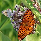 Bronze Copper & Great Spangled Fritillary Butterflies by BigD