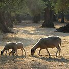 Greek Sheep by Mike Paget
