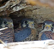 Baby Falcon Trio by Molly  Kinsey