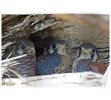 Baby Falcon Trio Poster