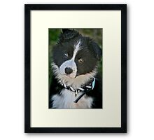 The baby Border Collie Framed Print