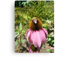 echinacea cone flower and bee Canvas Print