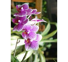 Purple and pink hybrid orchids Photographic Print