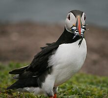Puffin by Lindsay McWilliams