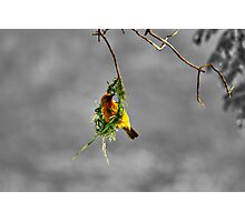 Fickle Finch Photographic Print