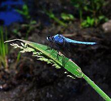 blue beauty by georossi46