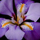Iris by Crispin  Gardner IPA