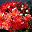 Eucalyptus Red by Magee