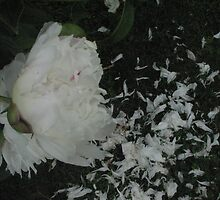 WHITE PEONIES DROPPING PETALS  GREEN GRASS  by gypsykatz