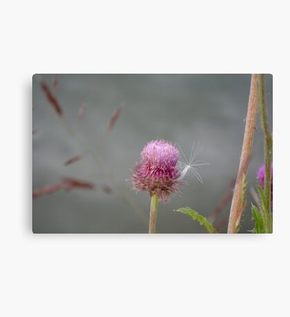 Thistle and fluff Canvas Print