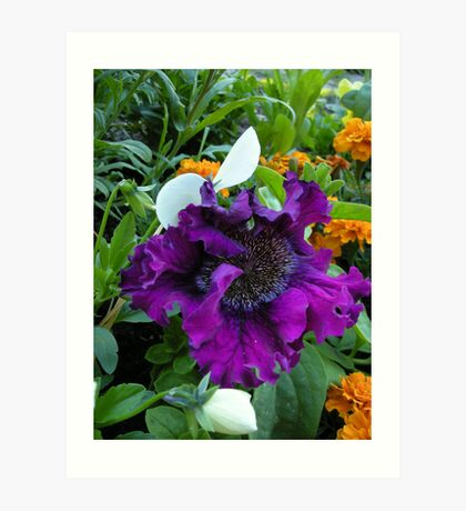 Petunia hybrida grandiflora superbissima nana Art Print