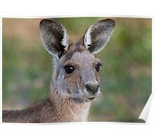 Eastern Grey Kangaroo Portrait Poster