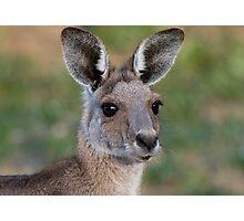 Eastern Grey Kangaroo Portrait Photographic Print