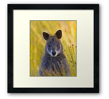 Lonely Swamp Wallaby 1 Framed Print