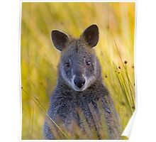 Lonely Swamp Wallaby 1 Poster