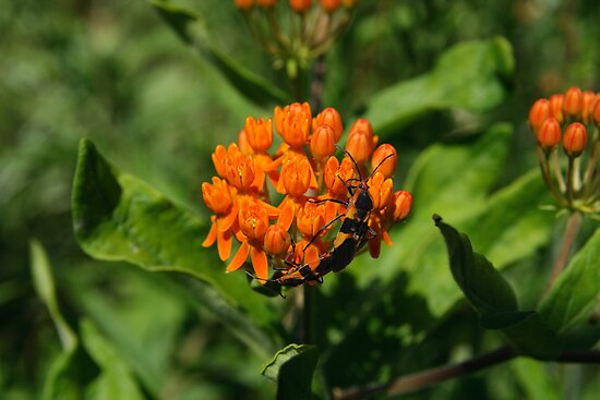 Large Milkweed Bugs by Gary L   Suddath