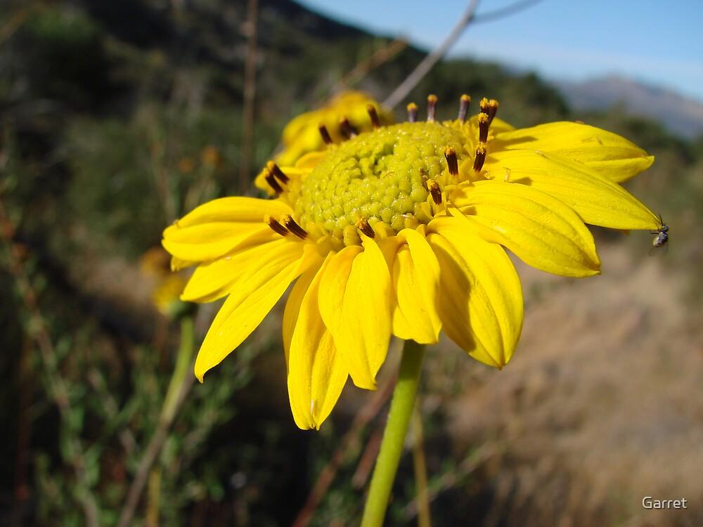Sunflower by Garret