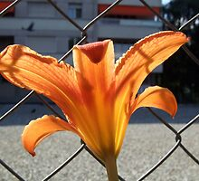 behind the fence ... the sun! by Fran E.