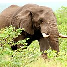 THE AFRICAN ELEPHANT - Oxodonta africana by Magriet Meintjes