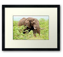 THE AFRICAN ELEPHANT - Oxodonta africana Framed Print
