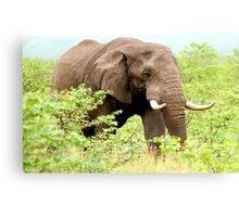 THE AFRICAN ELEPHANT - Oxodonta africana Canvas Print