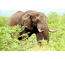 THE AFRICAN ELEPHANT - Oxodonta africana Photographic Print