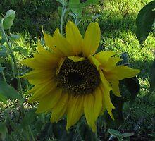 2nd Sunflower by gypsykatz