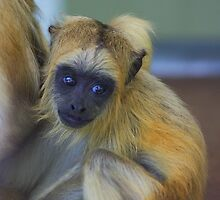 Baby howler monkey by jdmphotography