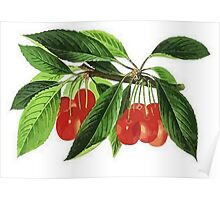 Red Cherries Vector on White Background Poster