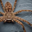 Six Spotted Fishing Spider by Aaron  Sheehan
