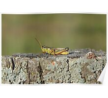 Two Striped Grasshopper Poster