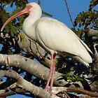 ibis II by Bernhard Matejka