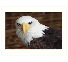 The Stunning Bald Eagle......... Art Print