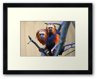 Golden-headed lion tamarin by jdmphotography