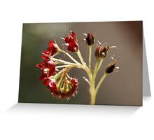 Spoon-Leaf Sundew blossom Greeting Card