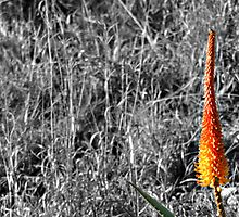 Red Hot Poker by Deon de Waal