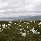 Bog Cotton by mikequigley