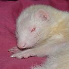 Albino Ferret Hanfi by bigbizarre