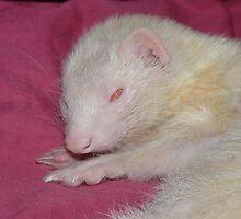 Albino Ferret Hanfi by bigbizarre