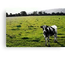 cloaked cows Canvas Print