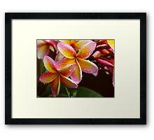 Summer Frangipanis Framed Print