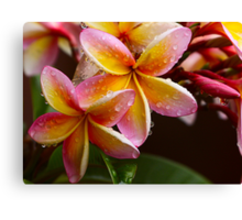 Summer Frangipanis Canvas Print