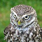 little owl by daantjedubbledutch