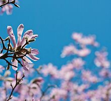 Pink Magnolia Blossoms On a spring day by kipstar